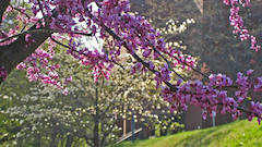 Trees in bloom with purple flowers